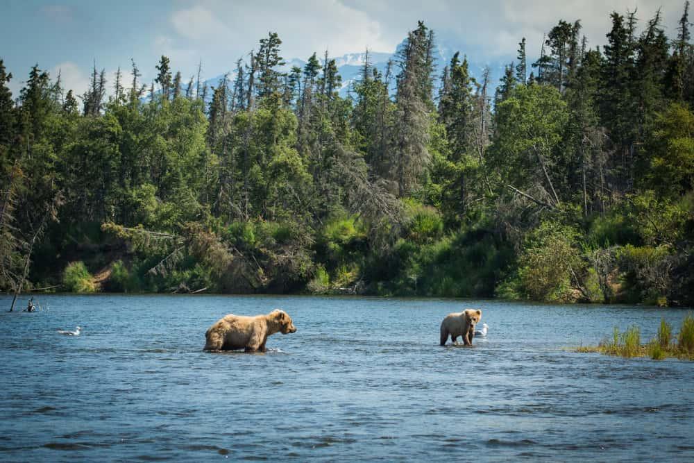 Es frecuente cuando haces ecoturismo en el Katmai National Park en Alaska ver osos pardos