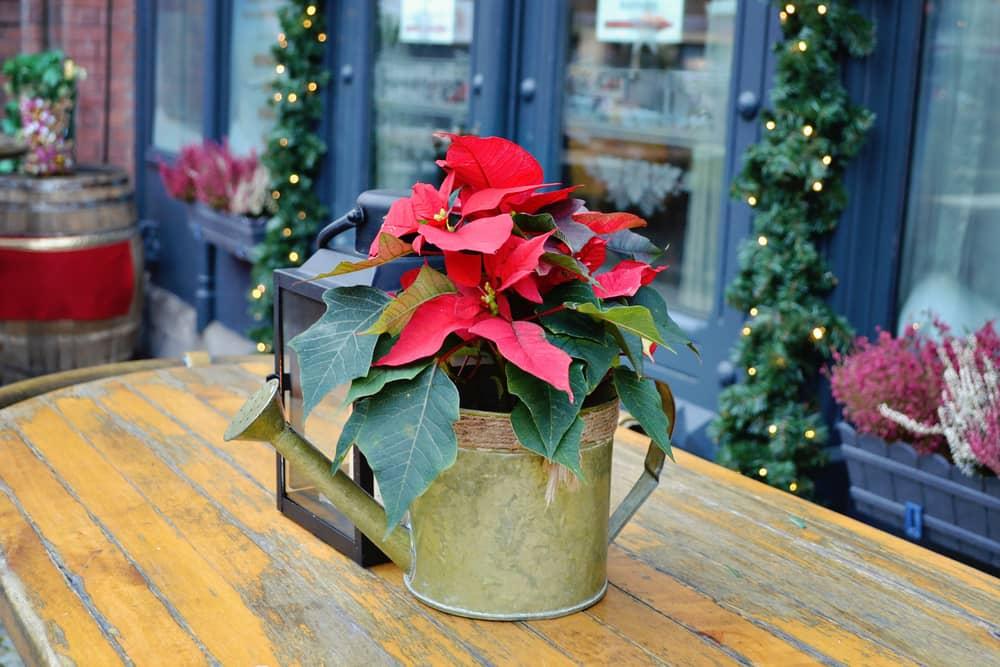 Las flores de Navidad puestas cerca de las ventanas anuncian la llegada de la época más linda del año.